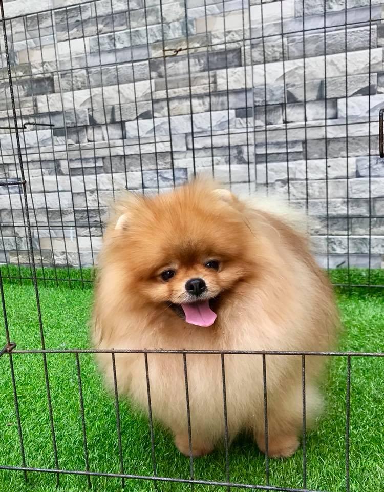 chó-phốc-sóc-và-chó-alaska