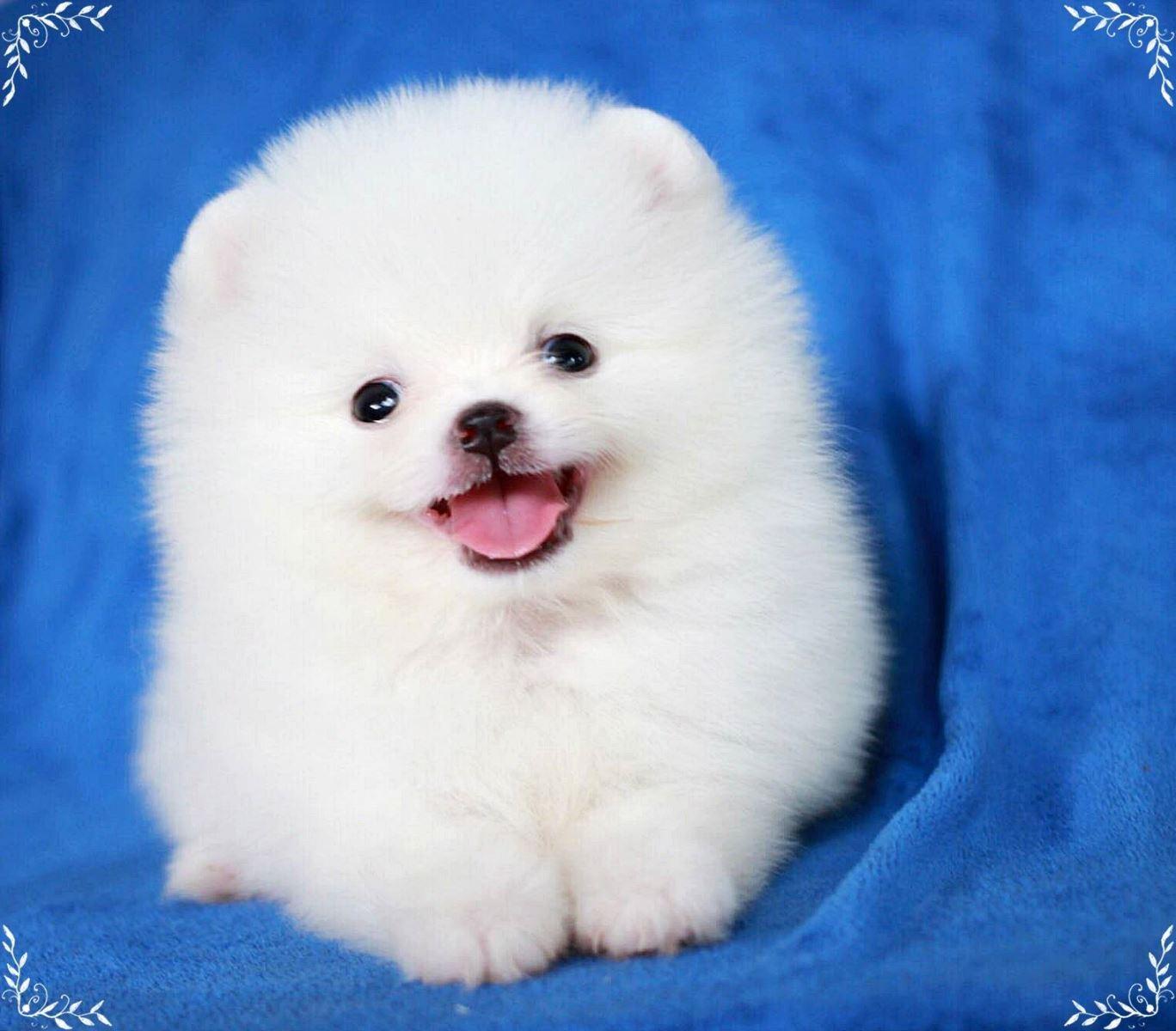 Chó Phốc Sóc (Pomeranian) - Lịch sử, đặc điểm, tính cách và cách chăm sóc